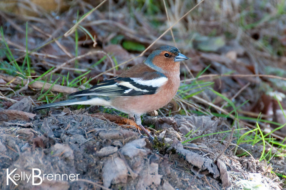Chaffinch, Germany