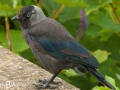 Jackdaw in Howth