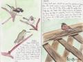 Anna's Hummingbird & Dark-eyed Junco
