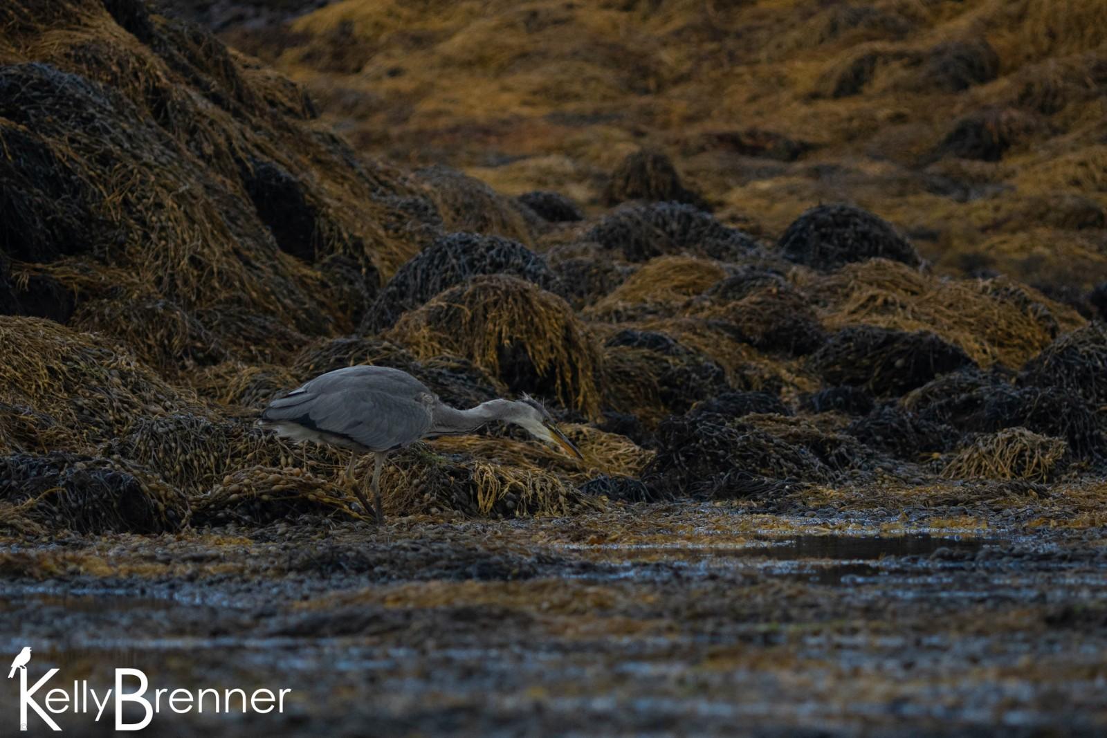 Grey Heron,  Loch Dunvegan