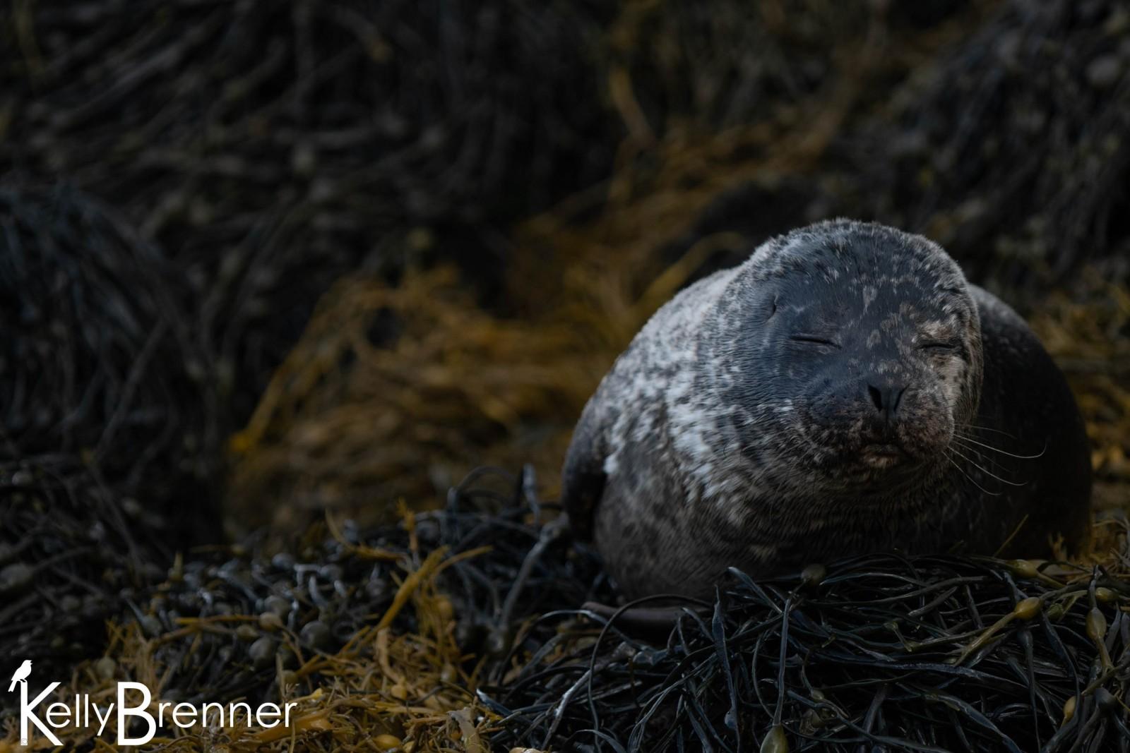 Common Seal,  Loch Dunvegan