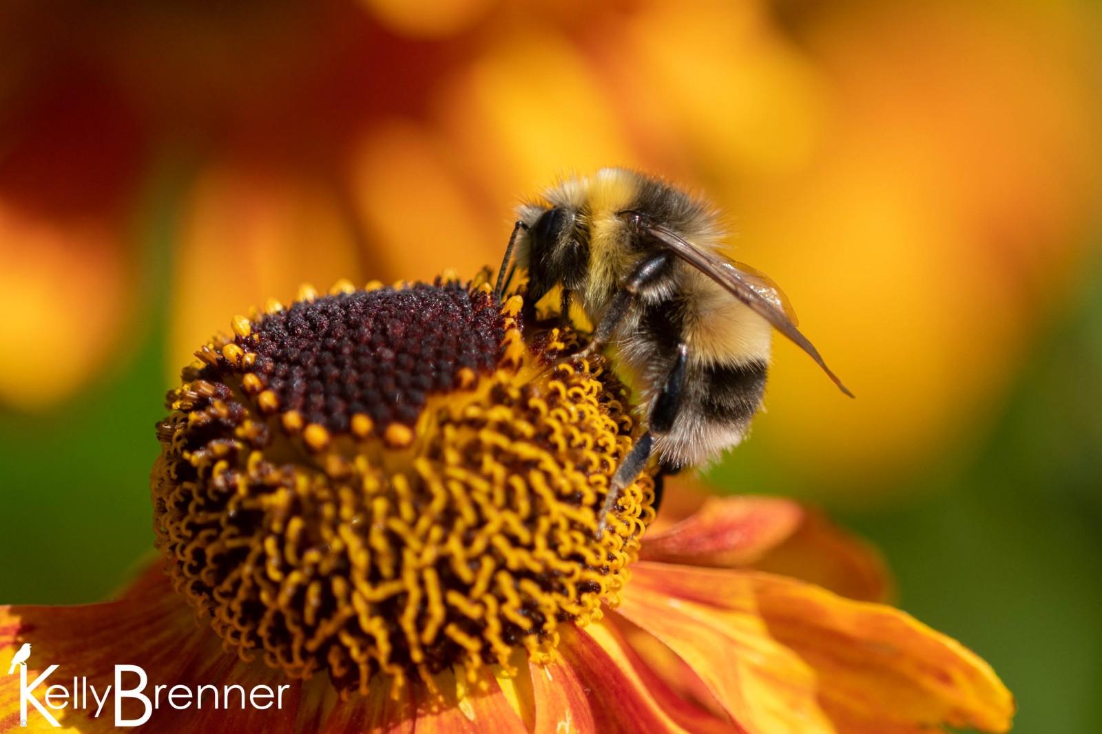 Bumble Bee, Dunvegan Castle