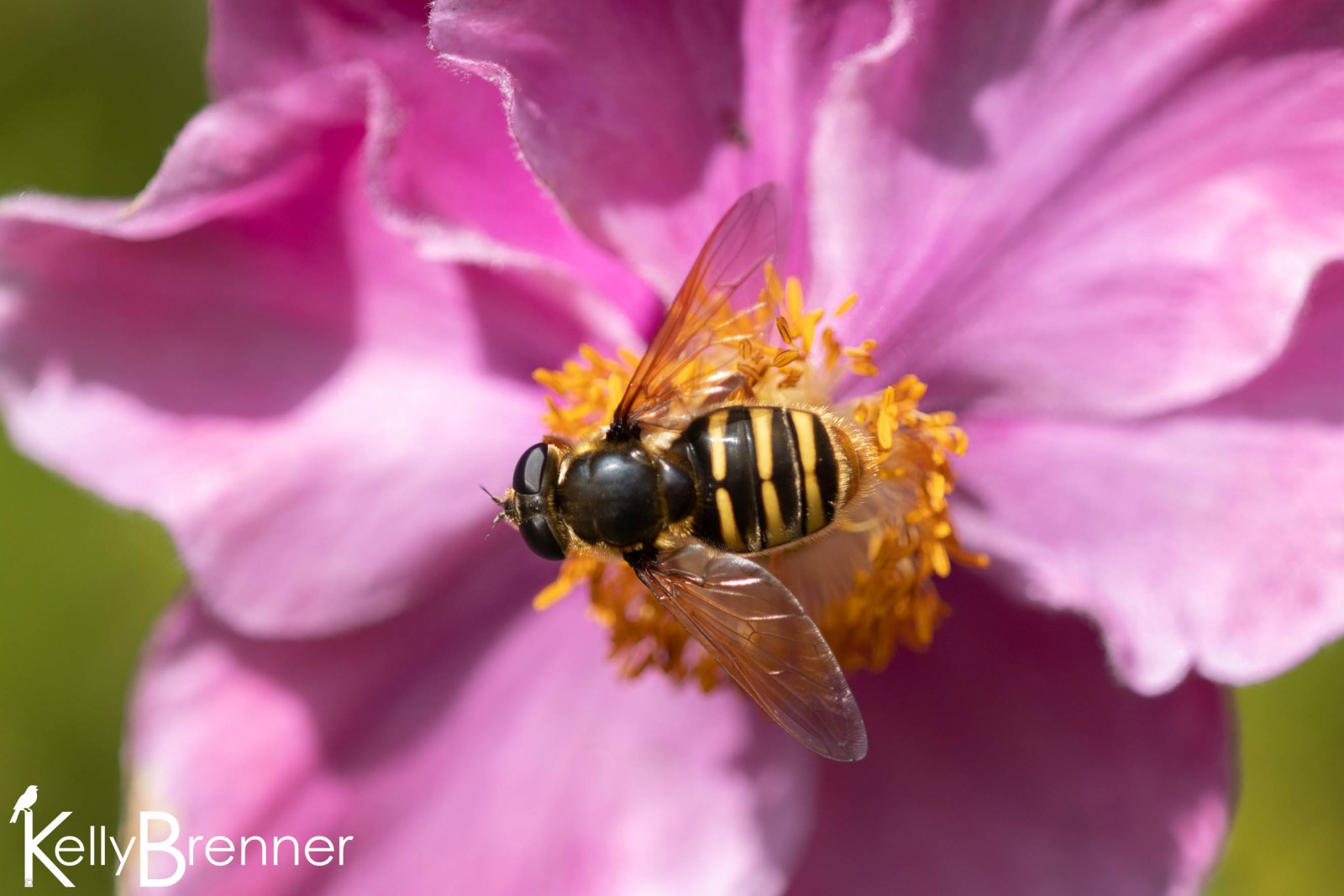 Syrphid Fly, Dunvegan Castle