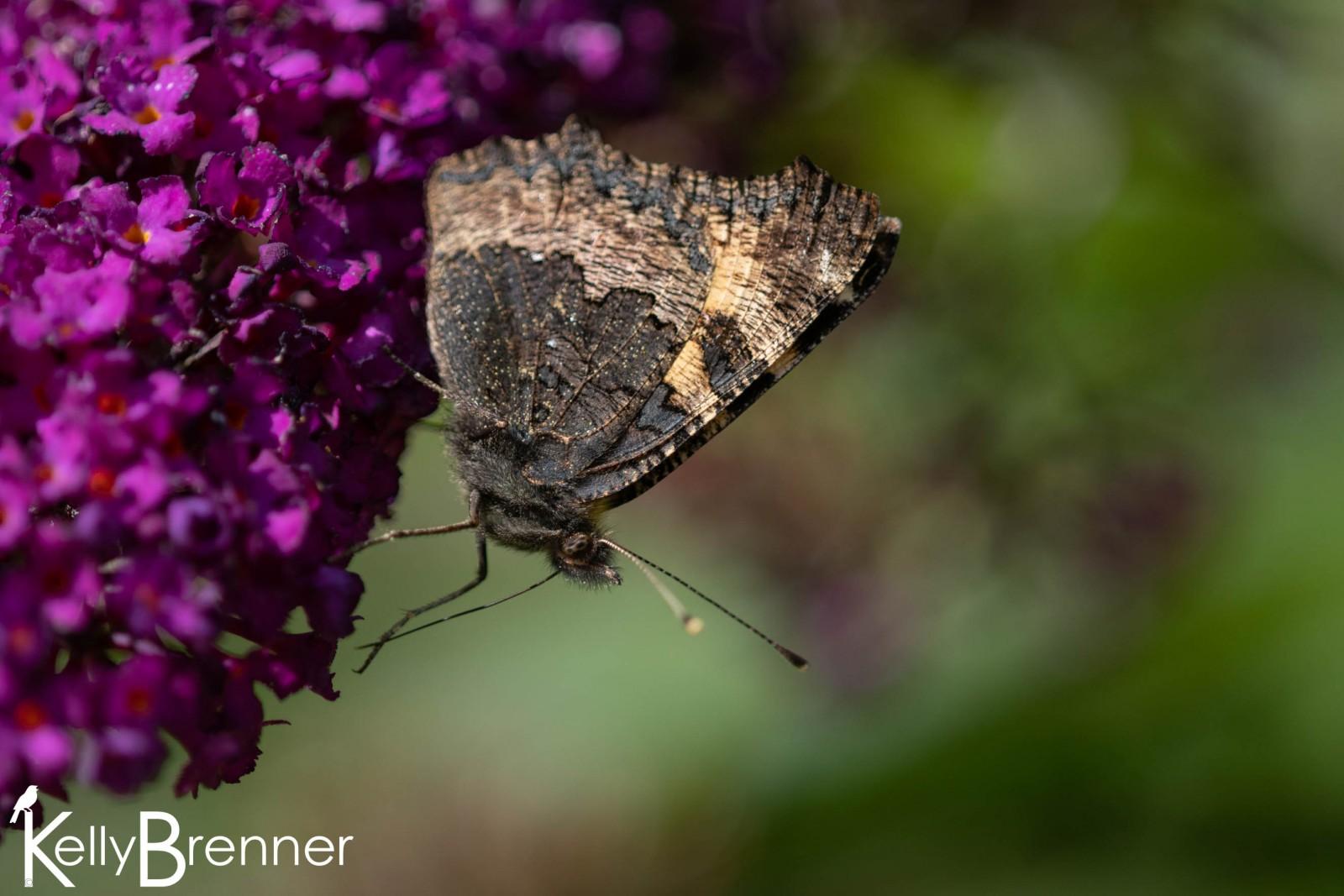 Small Tortoiseshell Butterfly, Dunvegan Castle