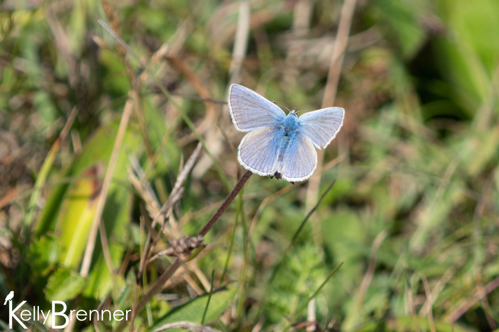 Common Blue, RSPG South Stack