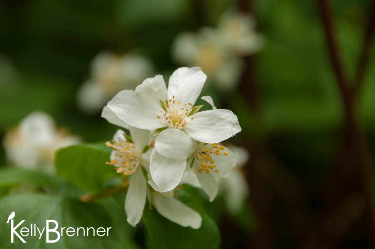 Wildlife Plants:: Serviceberry