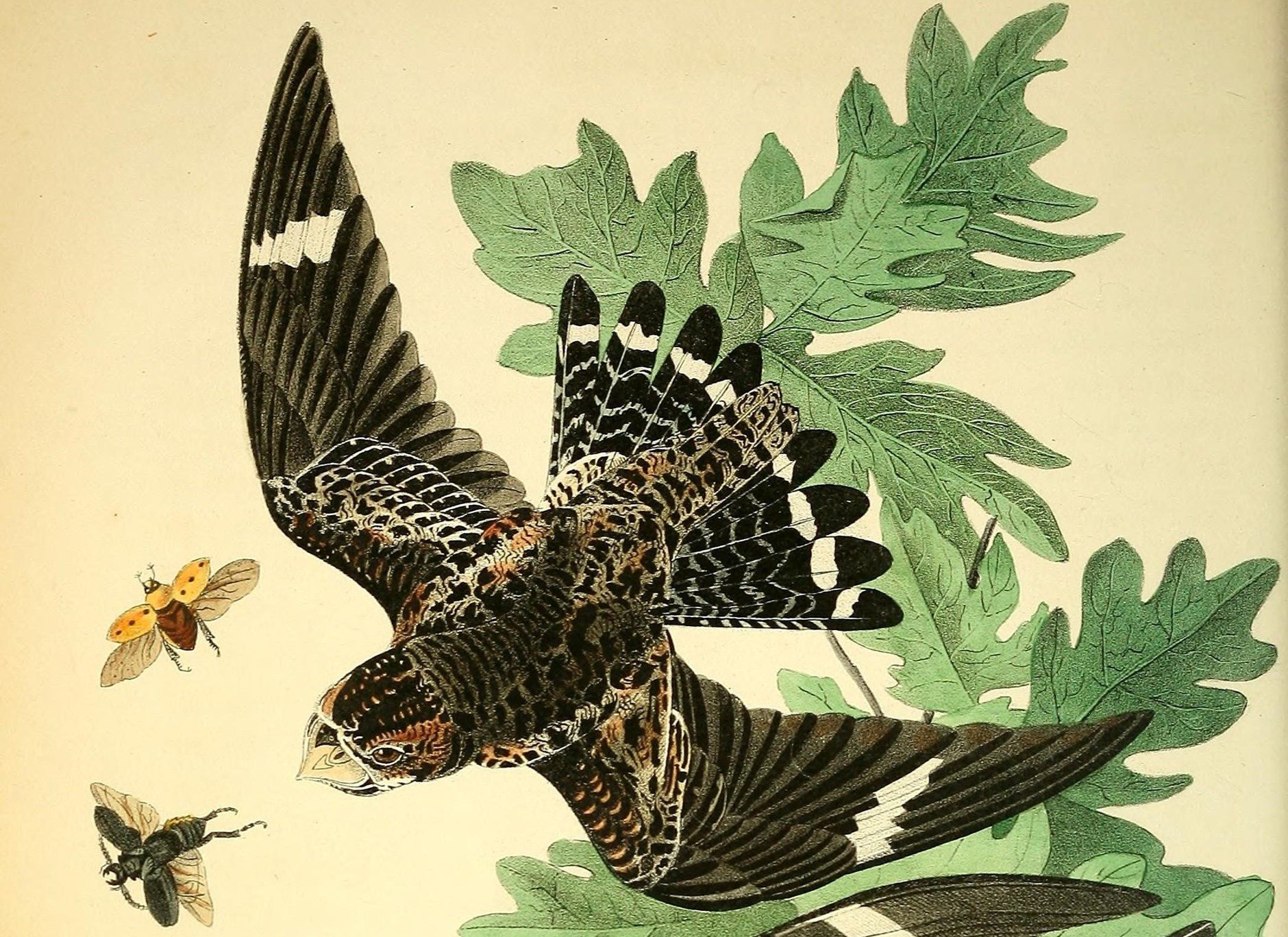 Urban Species Profile:: Common Nighthawk