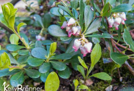 Wildlife Plants:: Kinnikinnick