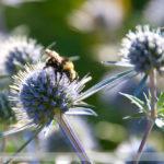 Eryngium and Bees