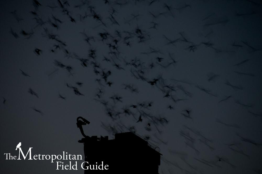 Urban Species Profile:: Swifts