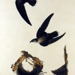Urban Species Profile:: Swifts