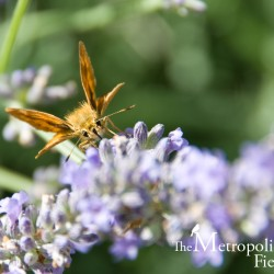 Woodland Skipper on Lavender