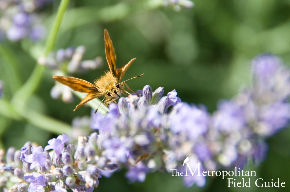 Urban Species Profile:: Woodland Skipper