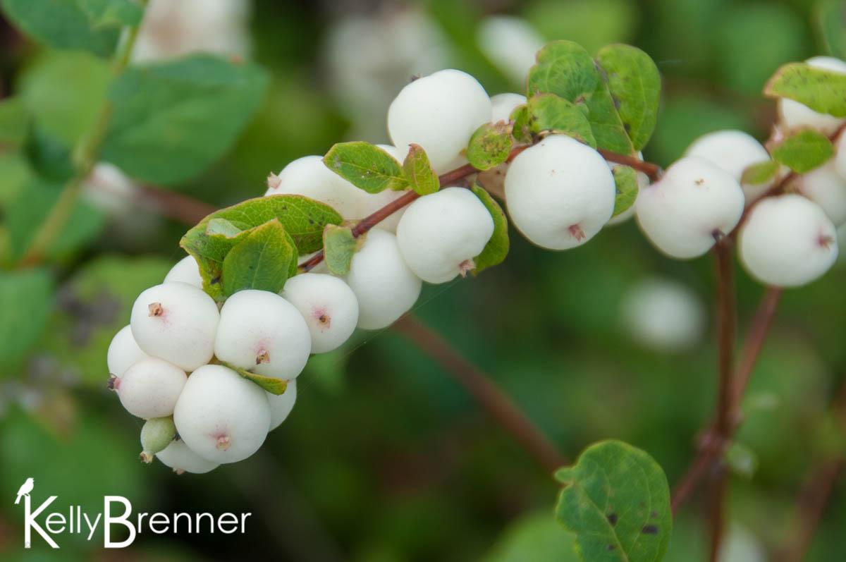 Wildlife Plants:: Snowberry