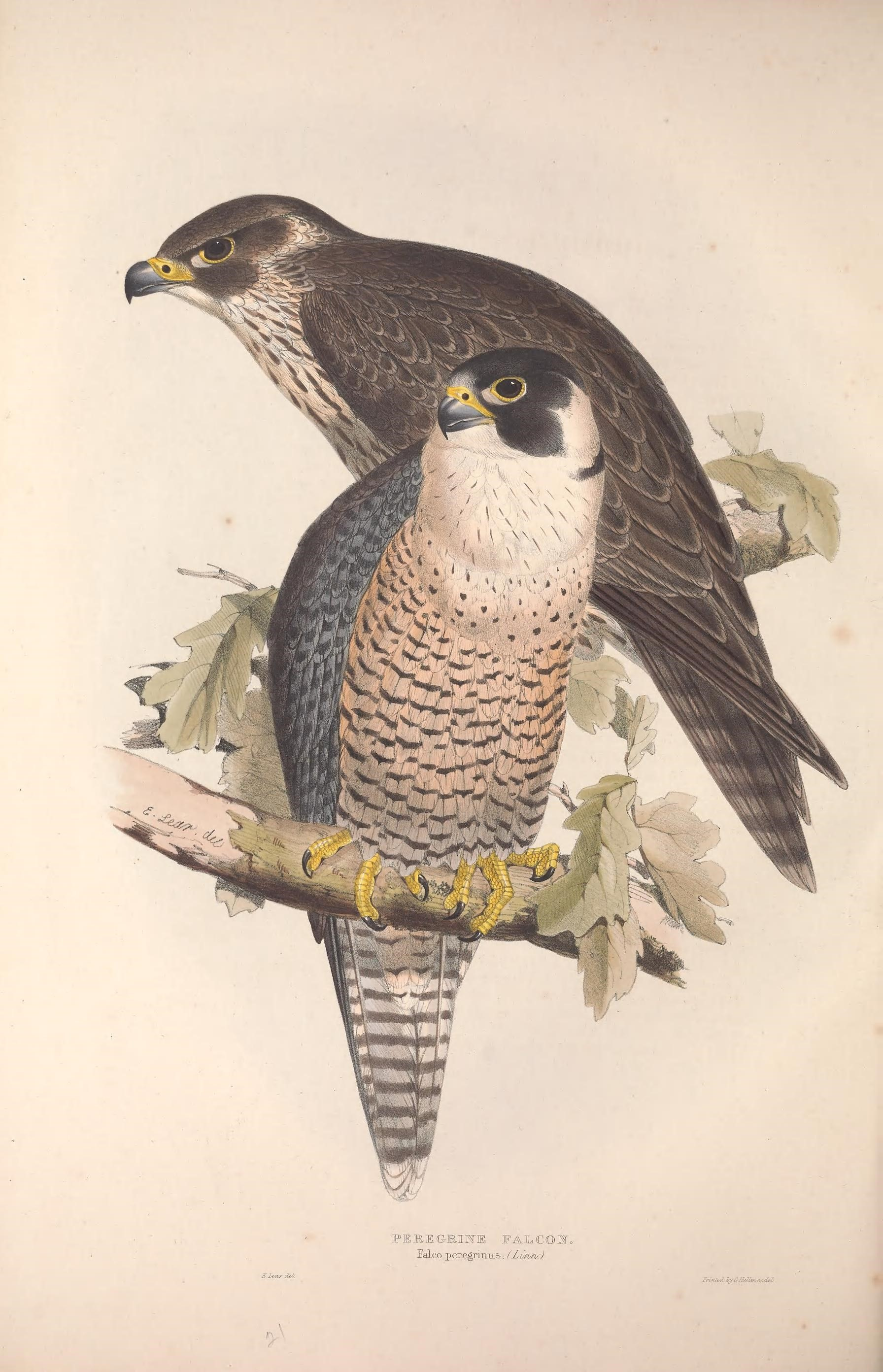 Urban Species Profile:: Peregrine Falcon