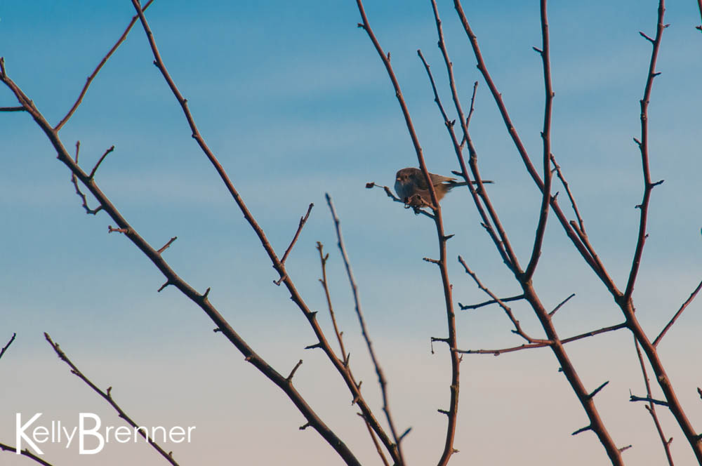 Urban Species Profile:: Bushtit