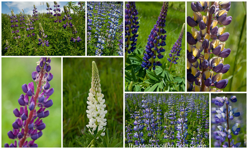 Wildlife Plants:: Lupine