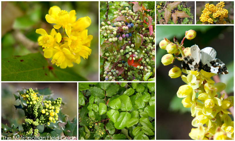 Wildlife Plants:: Oregon-grape