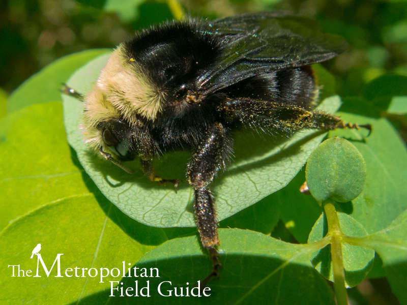 Urban Species Profile:: Bumble Bees