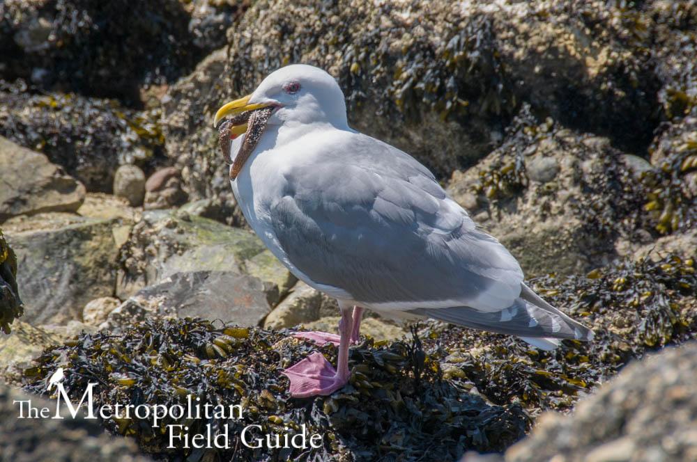 On Being Misunderstood:: Gulls