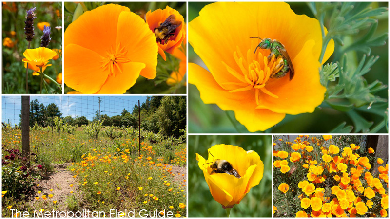 Wildlife Plants:: California Poppy