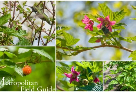 Wildlife Plants:: Salmonberry