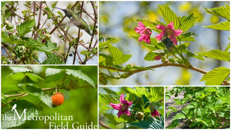 Wildlife Plants:: Salmonberry