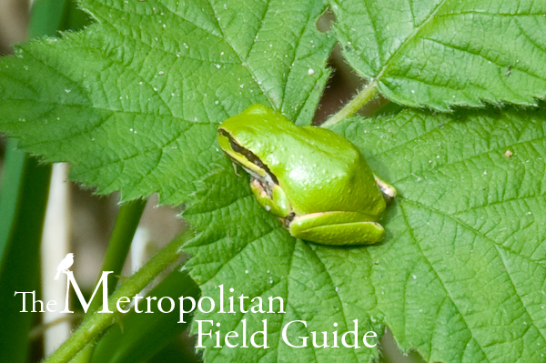 Urban Species Profile:: Pacific Chorus Tree Frog