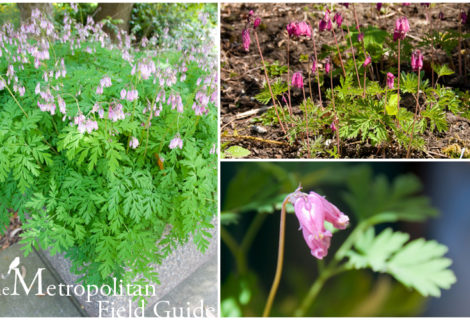 Wildlife Plants:: Pacific Bleeding Heart
