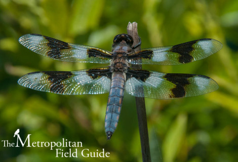 Urban Species Profile:: Eight-spotted Skimmer