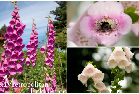 Wildlife Plants:: Foxglove