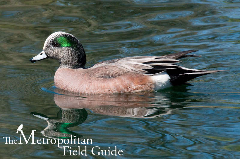 Urban Species Profile:: American Wigeon