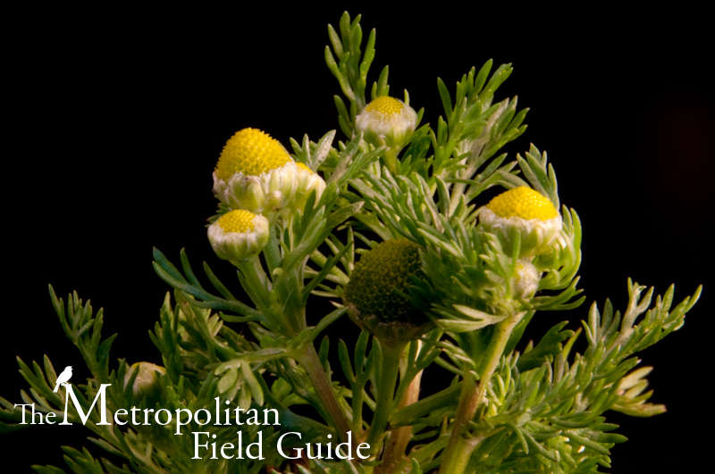 The Virtuous Weed:: Pineapple Weed