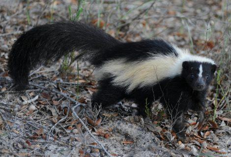 On Being Misunderstood:: Striped Skunk