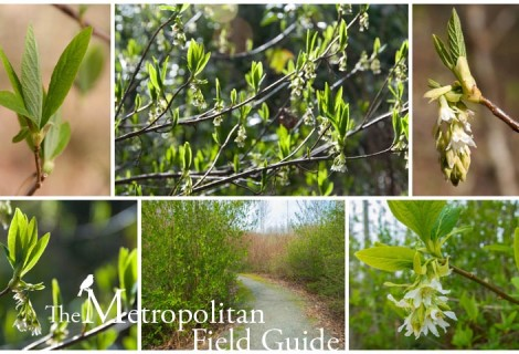 Wildlife Plants:: Indian Plum