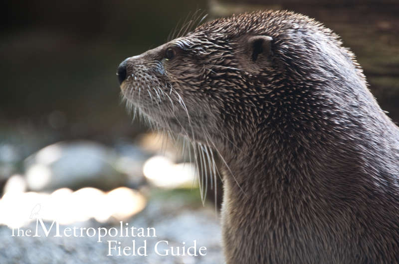 Urban Species Profile:: River Otter
