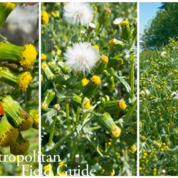 The Virtuous Weed:: Common Groundsel