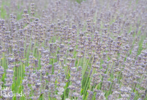 Wildlife Plants:: Lavender