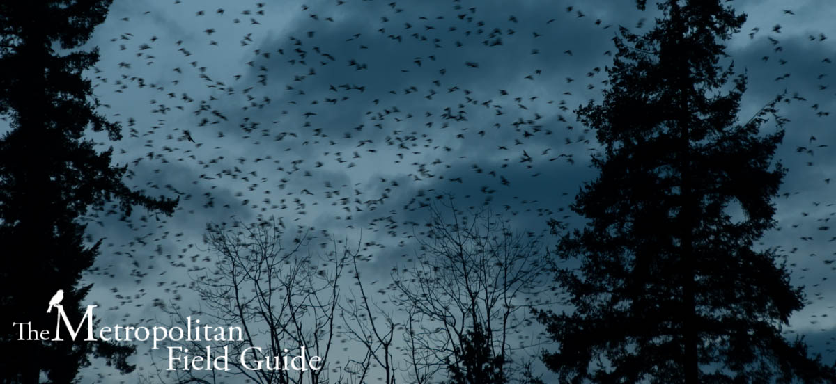 The Experience of 10,000 Crows