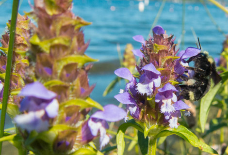 The Virtuous Weed:: Self-Heal