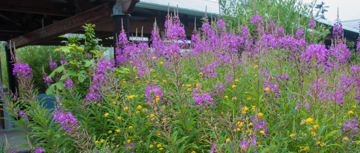 Wildlife Plants:: Fireweed