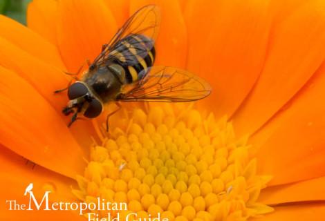 Urban Species Profile:: Hover Flies