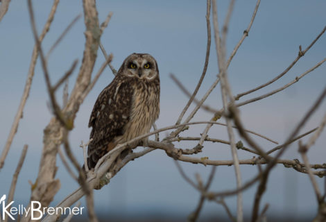 Field Journal: Short-eared Owls