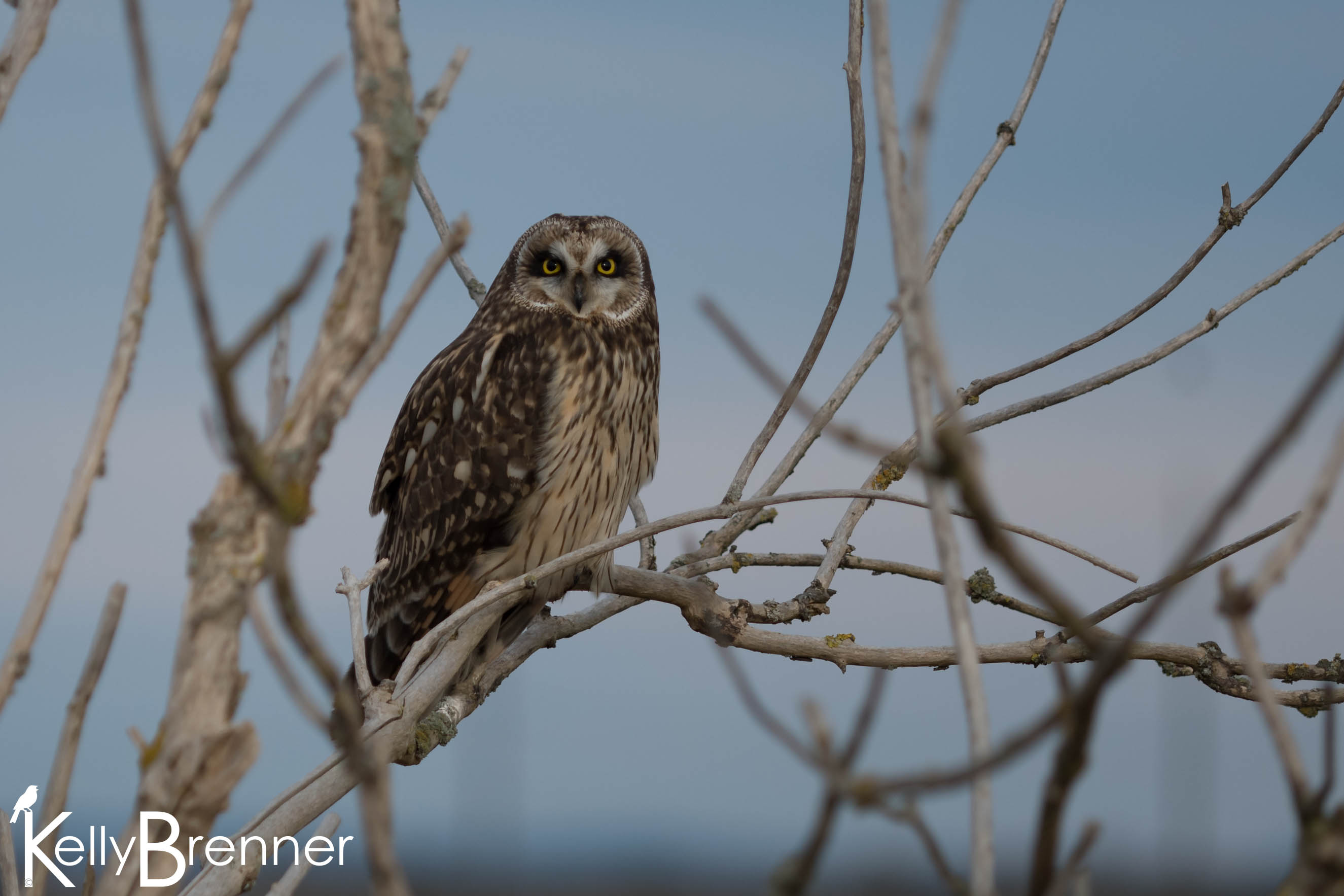 Field Journal: Short-eared Owls