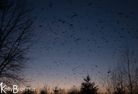 Field Journal: Renton Crow Roost