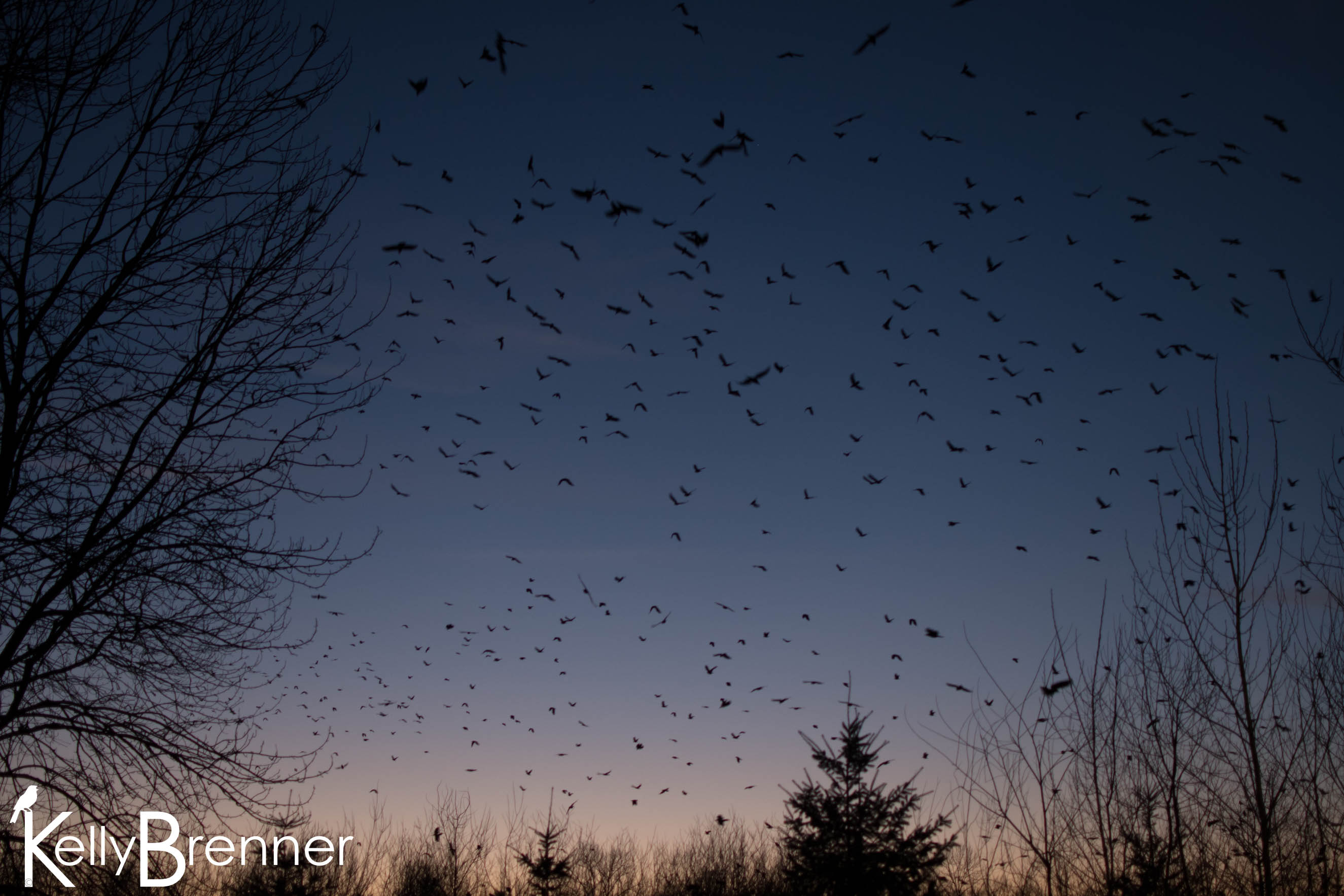 Field Journal – Renton Crow Roost