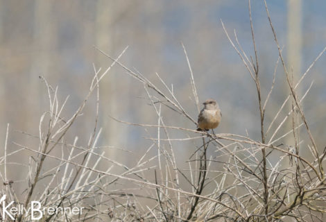 Field Journal: Say's Phoebe at Magnuson Park