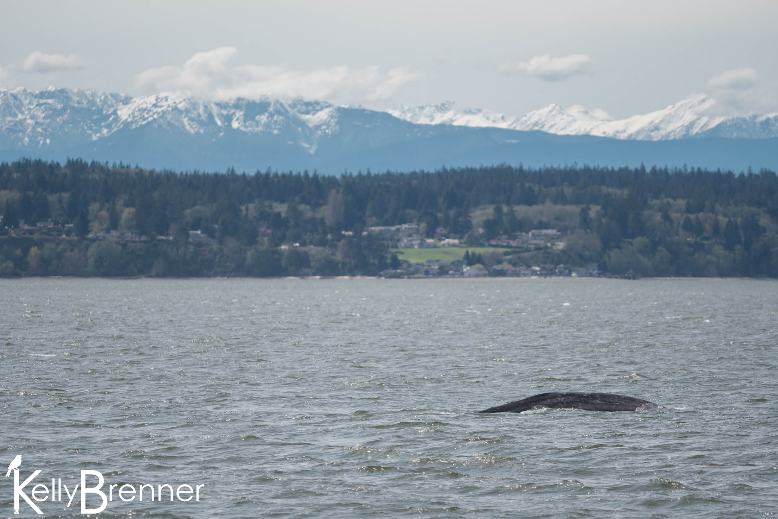 Field Journal: Following Gray Whales