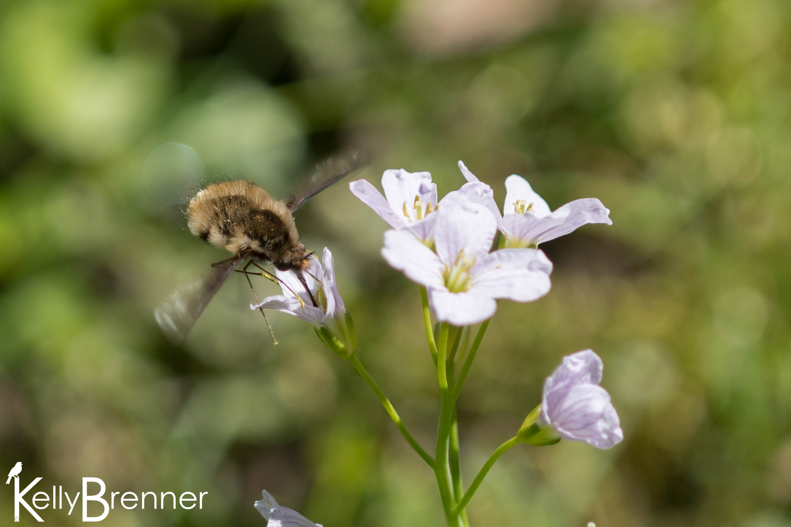 Field Journal: Arboretum Bee Flies