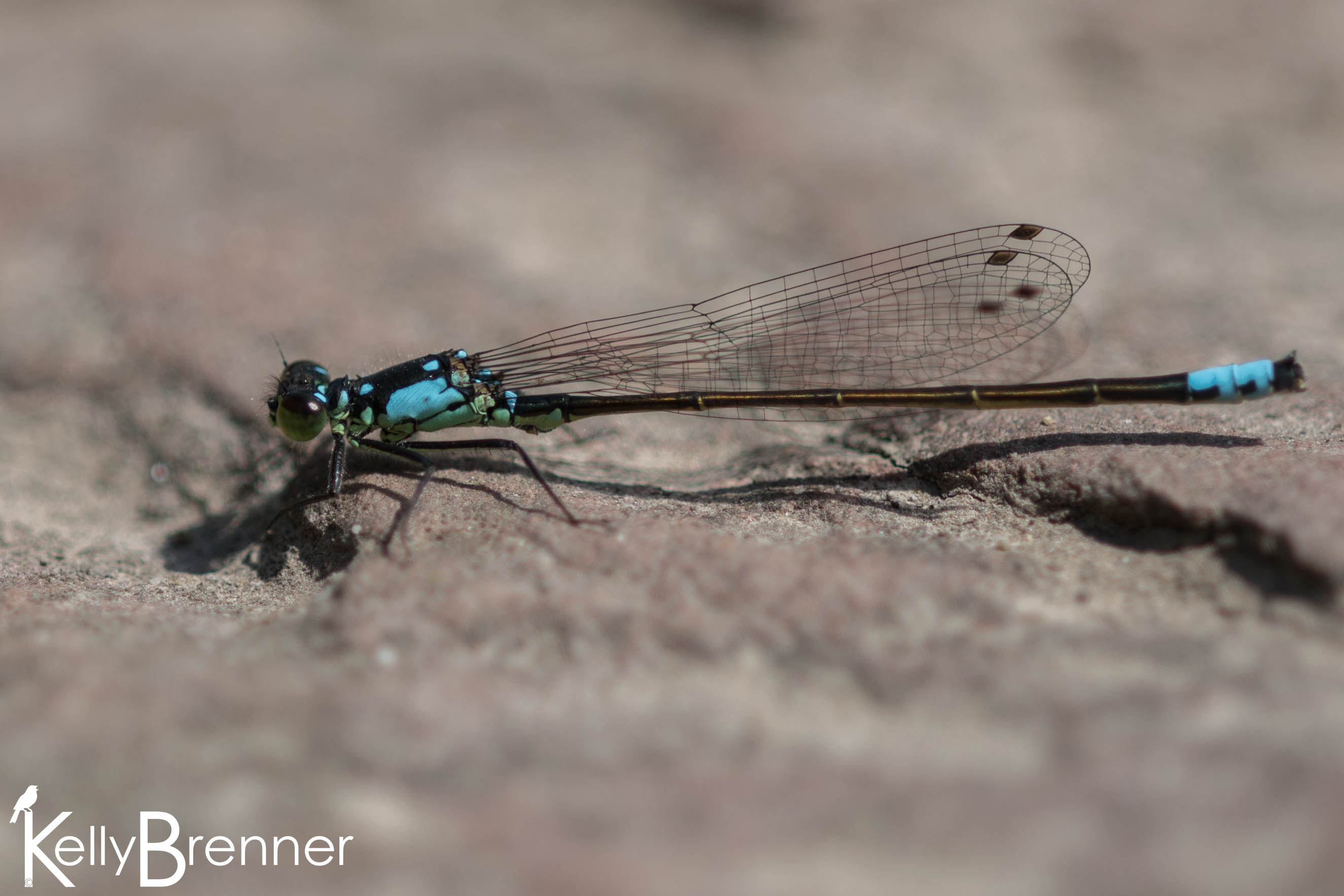 Field Journal: First Dragonfly of the Year